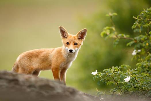 Fox cub on the rock (Vulpes vulpes)