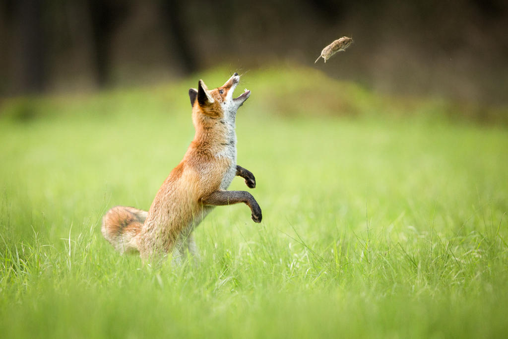 http://img15.deviantart.net/584c/i/2014/275/f/7/fox_playing_with_vole_by_alesgola-d813liy.jpg