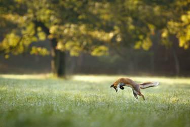 Hunting fox (Vulpes vulpes) by AlesGola