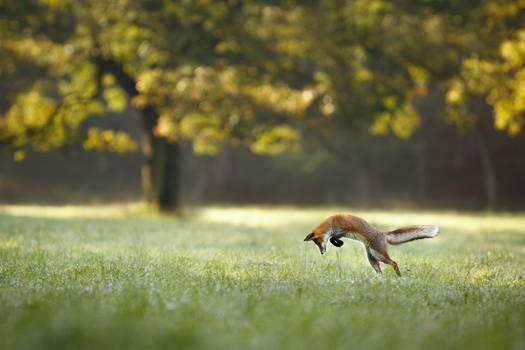 Hunting fox (Vulpes vulpes)