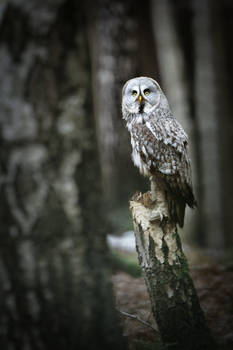 Forrest guard (Strix nebulosa)