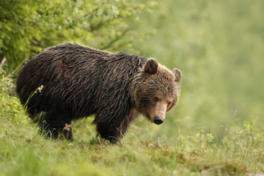 Cautious bear (Ursus Arctos) by AlesGola