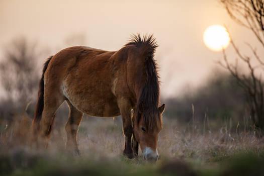 Grazing Exmoore pony mare