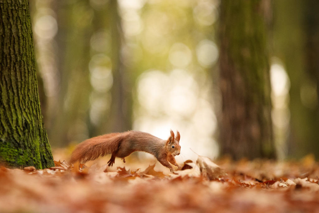 Running squirrel by AlesGola