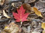 Devil's Lake Maple leaf by Jrathage-Stock