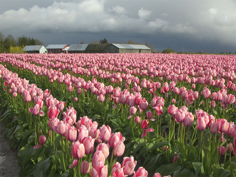 Tulip field and stormy skies