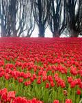 Tulip Field and border