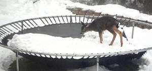 Deer on a trampoline