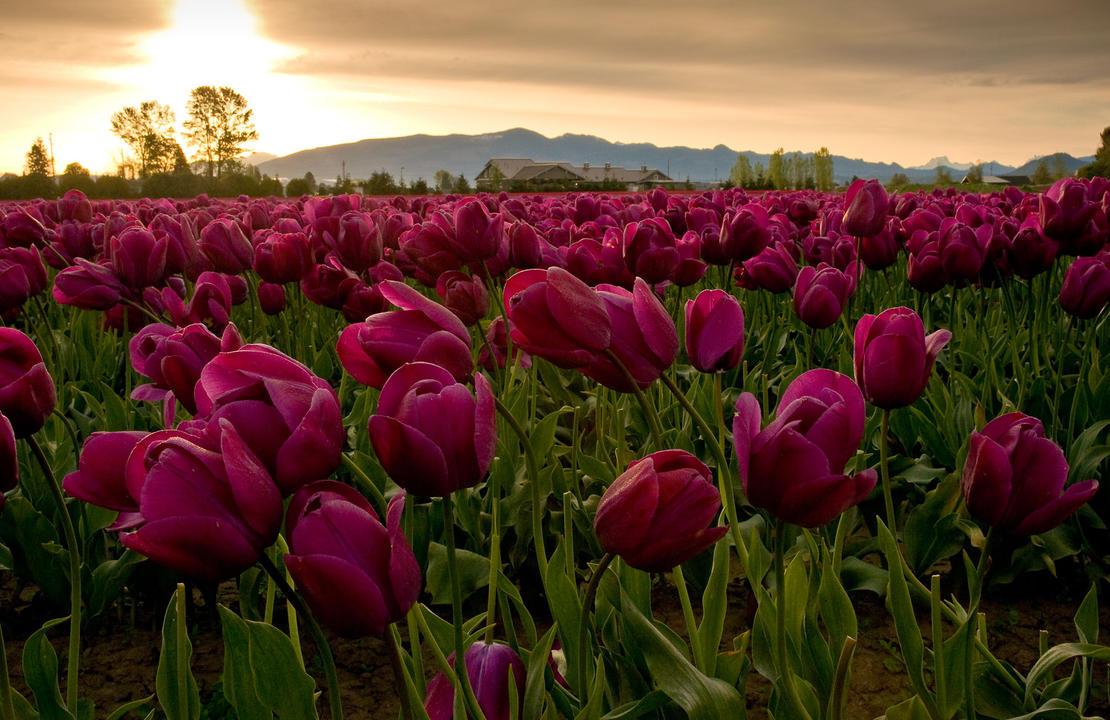 Tulip drama by LarryRaisch