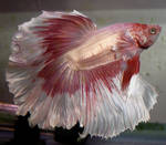 Karma Rosetail Betta