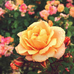 Yellow rose with waterdrops 1