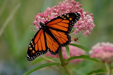 Monarch by killybay