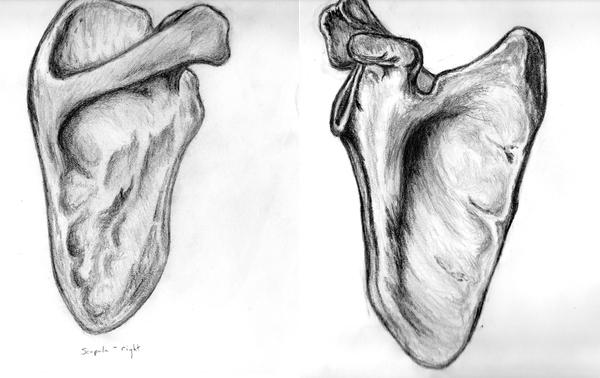 Human Scapula Right By Timefalcon On Deviantart