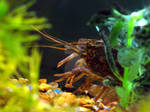 Leon The Crayfish
