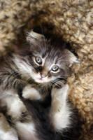 Kitten Daydreams.... by DreamEyce