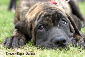 Slobbered Fila Pup by DreamEyce