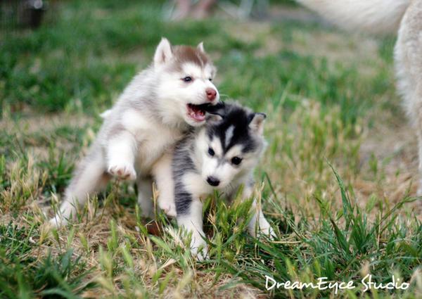 GLOMP Siberian puppies by DreamEyce