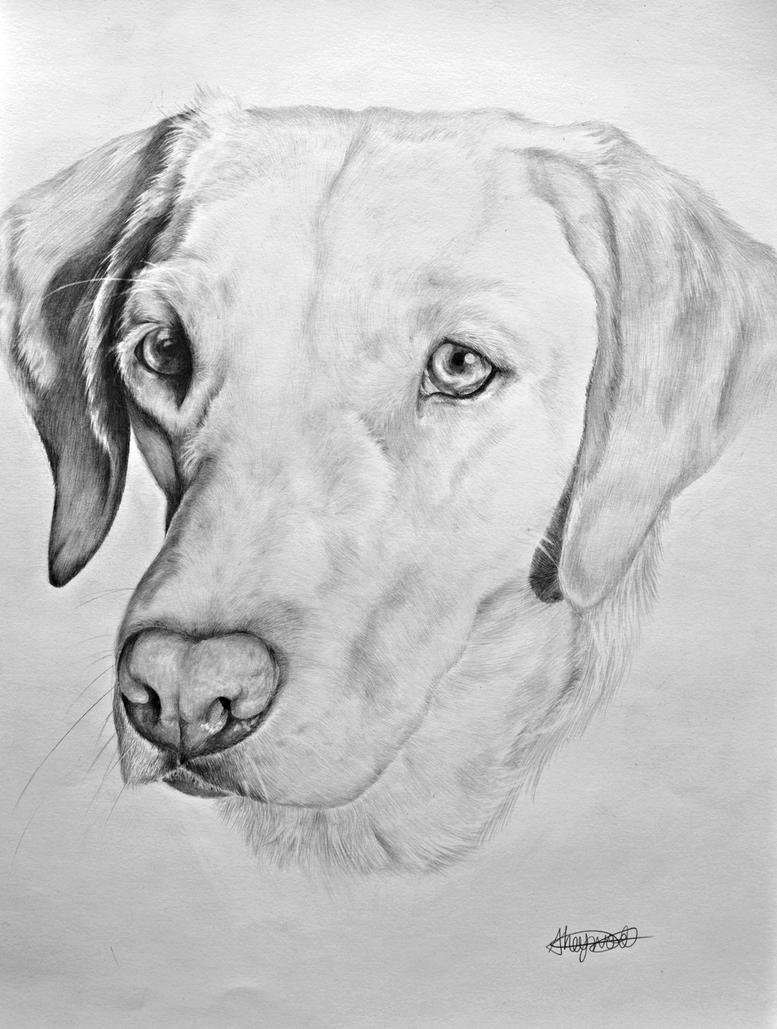 'Tilly' the Labrador by MemoryInTime