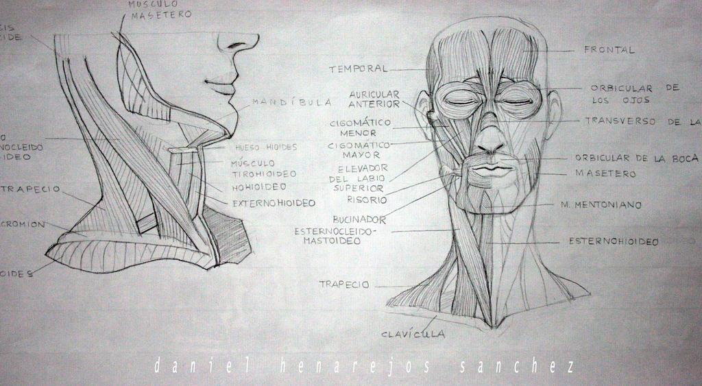 Anatomia Cara Y Cuello by elsantodelosasesinos on DeviantArt