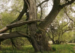 a old tree