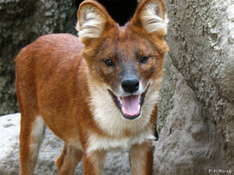 Smiling Red Wolf's puppy by PaPeRDoLLLL