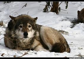Sad Wolf by PaPeRDoLLLL