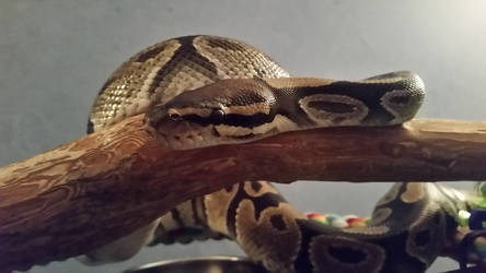 Crowley the beautiful ball python by Valyndris
