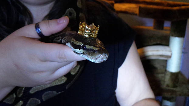 King Crowley the Royal Python