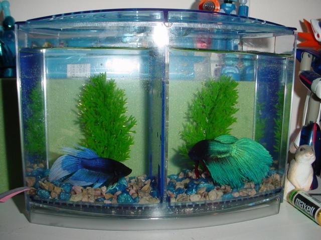 Flaring betta 39 s by shimmerwing on deviantart for Fish tank divider 5 gallon