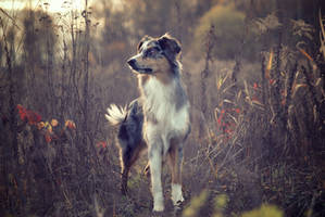 Autumn shot of my Australian shepherd by toec