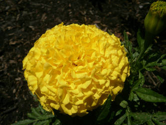 Oddest Rose