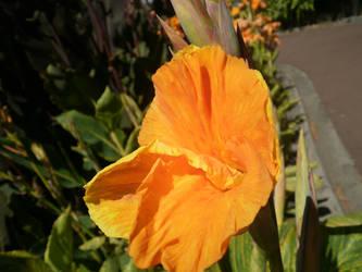 Orange Canna