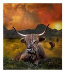 Highland Oxen