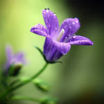 Violet bell by iilva