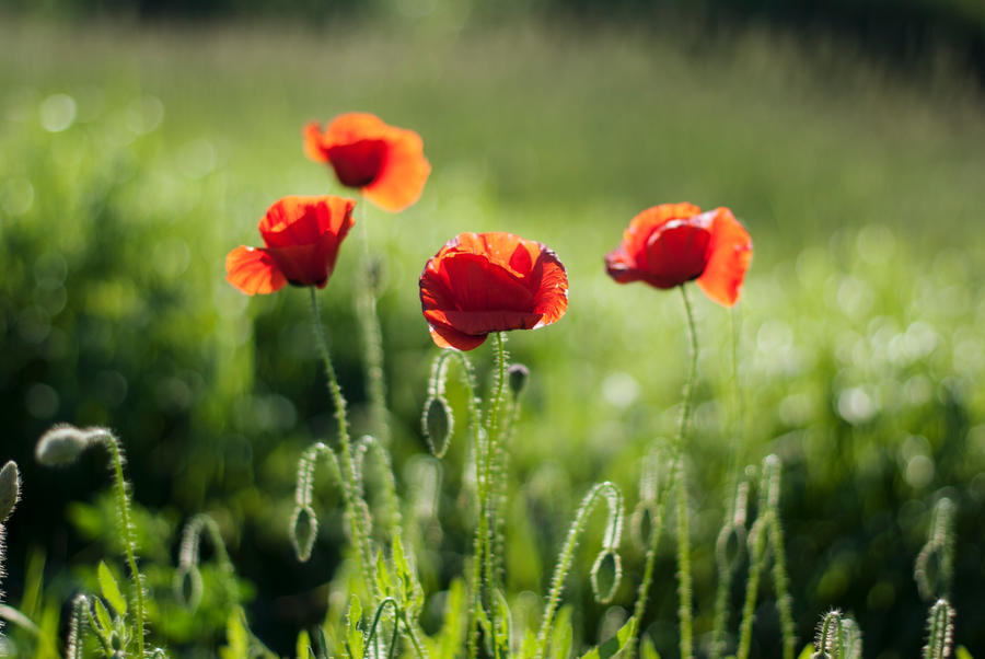 Raw Poppies by iilva
