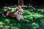 A nap in the shade (Cheetah)