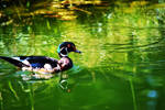 Just out for a swim (Wood Duck)