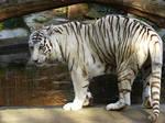 White Tigeress
