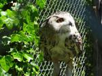 Great Horned Owl (13)
