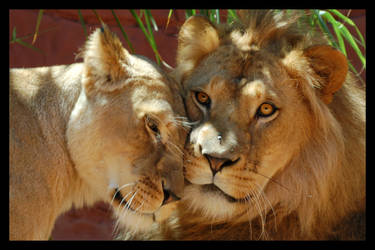 Lions love by zwabbe15