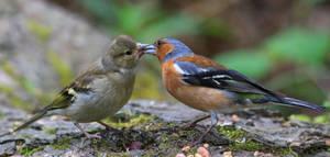 Dad feeding fledgling by NurturingNaturesGift