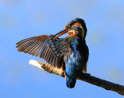 Common kingfisher (female) by NurturingNaturesGift