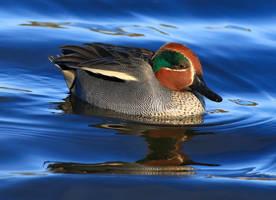 Male teal duck by NurturingNaturesGift