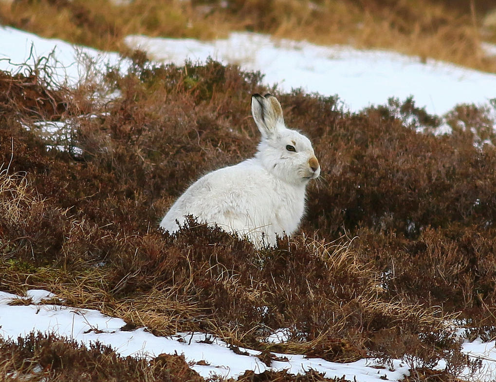 Mountain Hare by Somnp