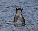 Great Crested Grebe Mating Dance by NurturingNaturesGift
