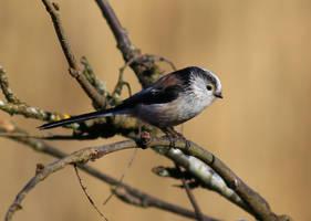 Long-tailed Tit by NurturingNaturesGift