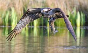 Osprey by NurturingNaturesGift