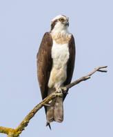 Male Osprey