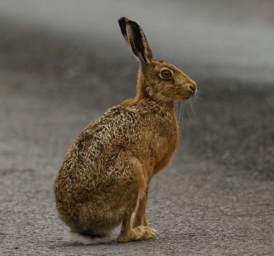 Brown Hare by NurturingNaturesGift