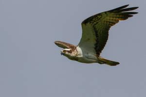 Juvenile Osprey by NurturingNaturesGift